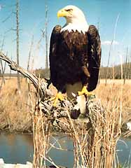 Bald eagle taxidermy on wood stub habitat.