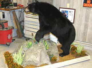 Balck bear taxidermy mount on floor taxidermy habitat base.