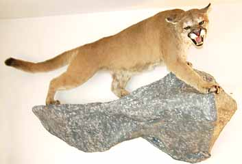 Cougar taxidermy mount on rock shelf taxidermy habitat display.