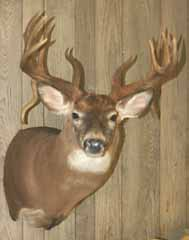 Whitetail deer shoulder mount by Delaware taxidermist George Roof.