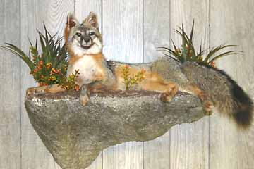 Grey fox on wall shelf taxidermy habitat display.