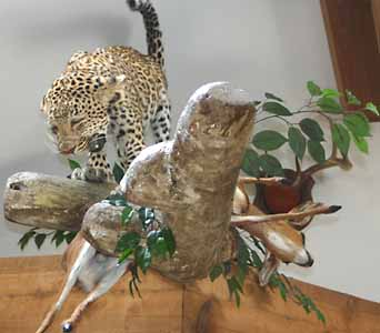 Leopard with kill on artificial limb as a habitat display.