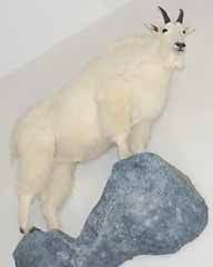 Mountain goat on rock ledge taxidermy habitat display.