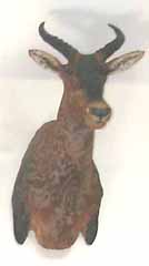 African safari taxidermy mount.  Tsessebe or topi.