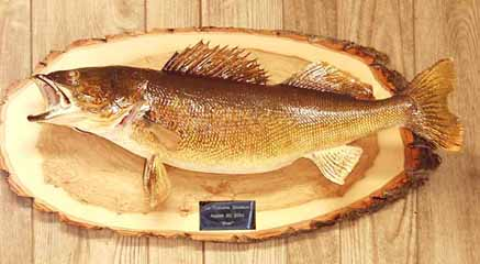 Walleye on log slab panel display.