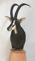African safari taxidermy mount.  Sable antelope.